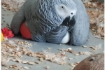 Available African Grey Parrots And Fertile Eggs For Sale