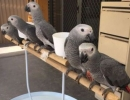 Available African Grey Parrots For Sale