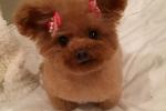 Pedigree Mini Poodle Puppies