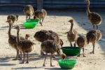 Quality ostrich and emu chicks/ eggs available