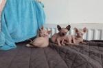 Sphynx Kittens Available