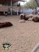 Kuwait_Sheep